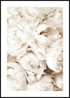 Pivoines Blanches Poster
