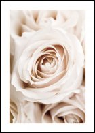 Peach Roses Poster