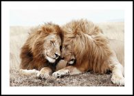 Lion Brothers Affiche