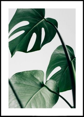 Monstera Leaves, Affiche