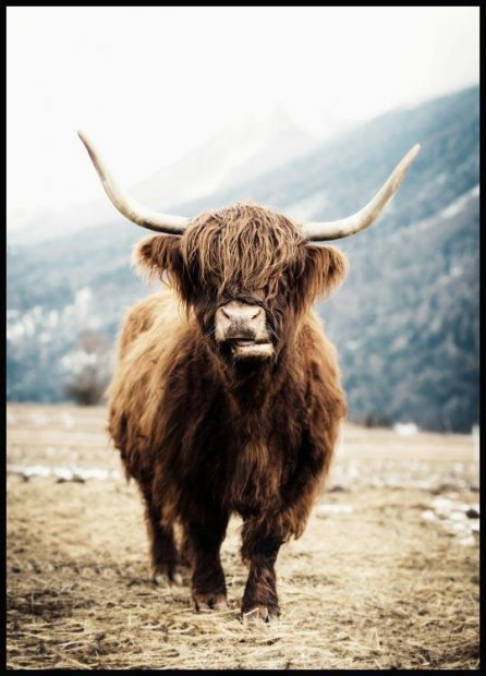 Highland Cow, Poster