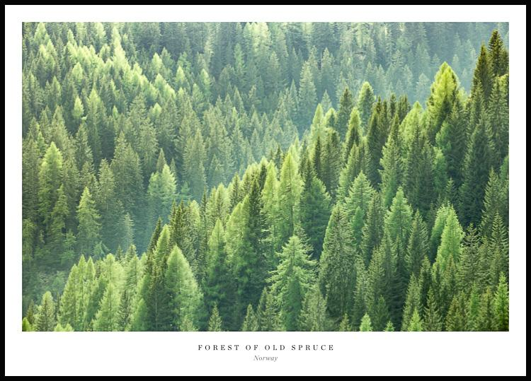 Forest of Old Spruce, Poster